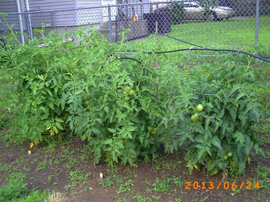 Lots of tomatoes and flowers on these three tomato plants, but they are still green.
