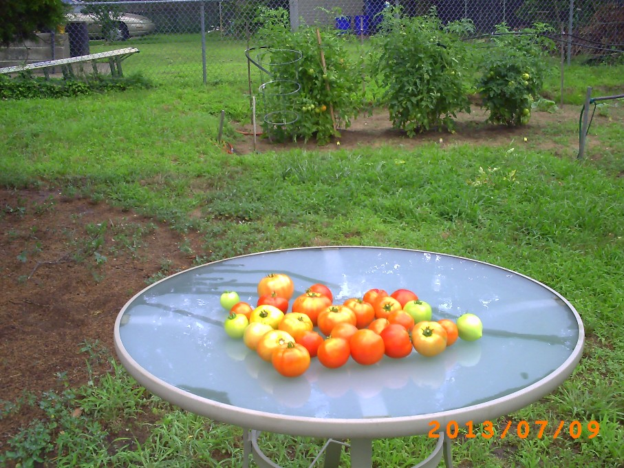 Lots of great tomatoes in spite of some vandalism.