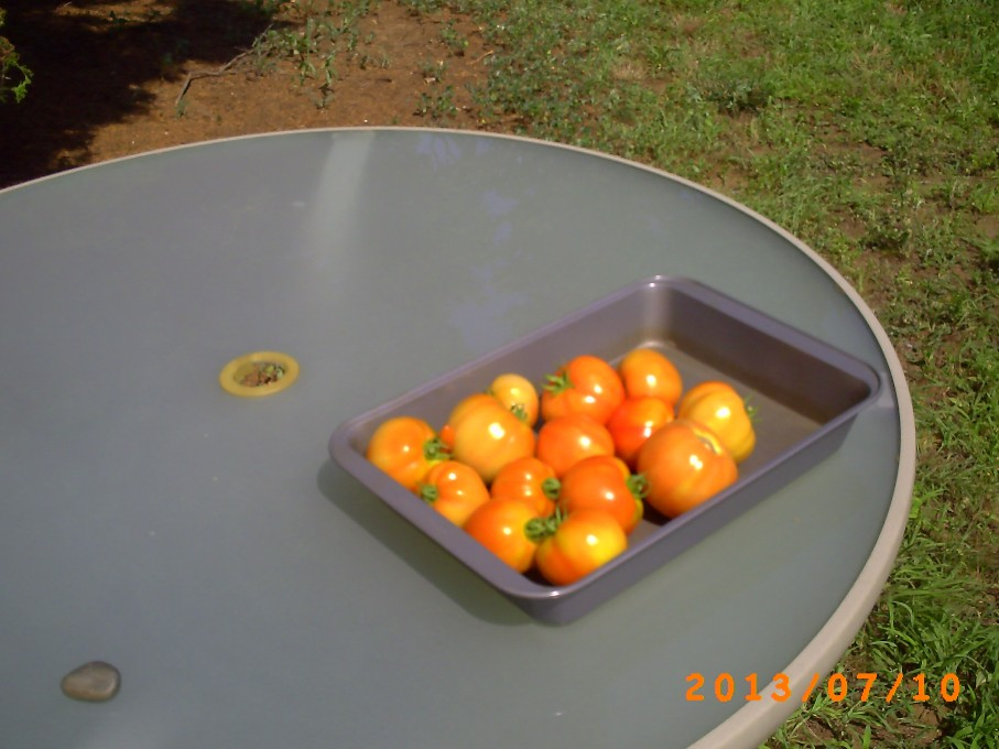 A dozen or so more tomatoes picked the next day.