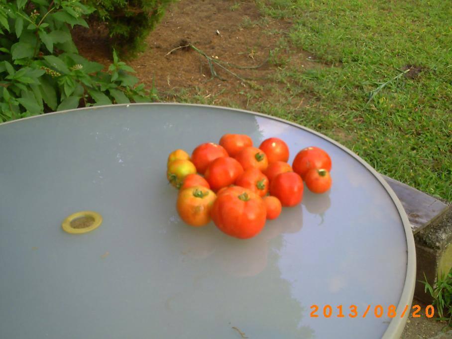Tomato harvest uglies