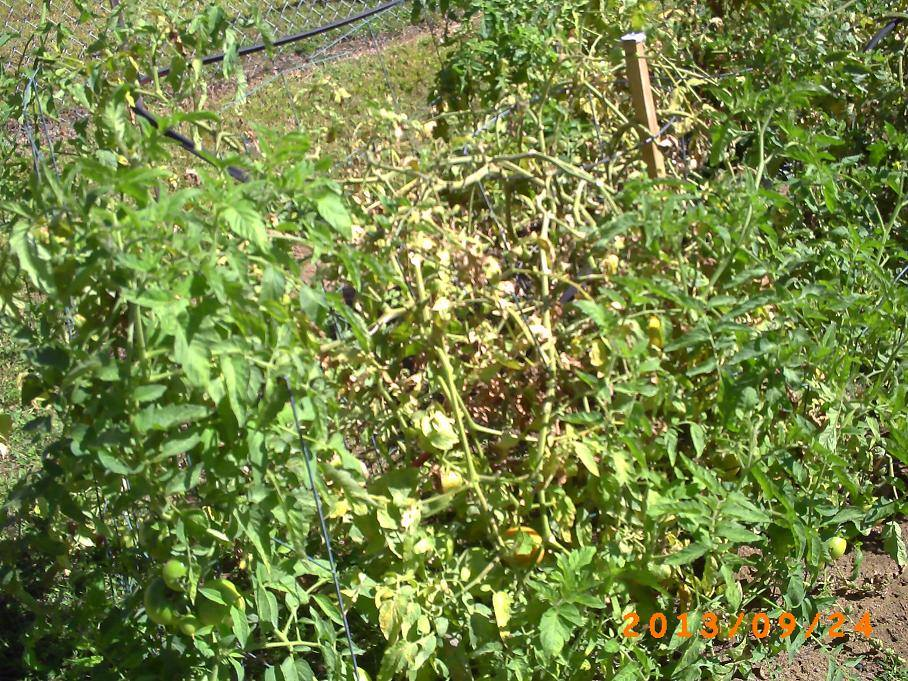 Tomato plants in late season. Don't be fooled by how ragged they look.