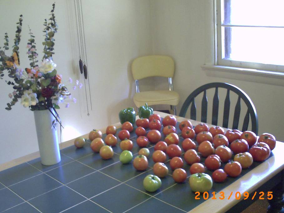 Ragged plants or not. The tomato harvest is fantastic.