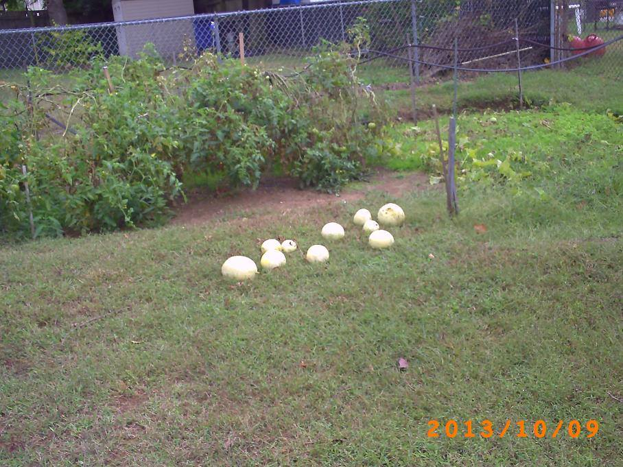 13 honeydews harvested  and laying on the grass.