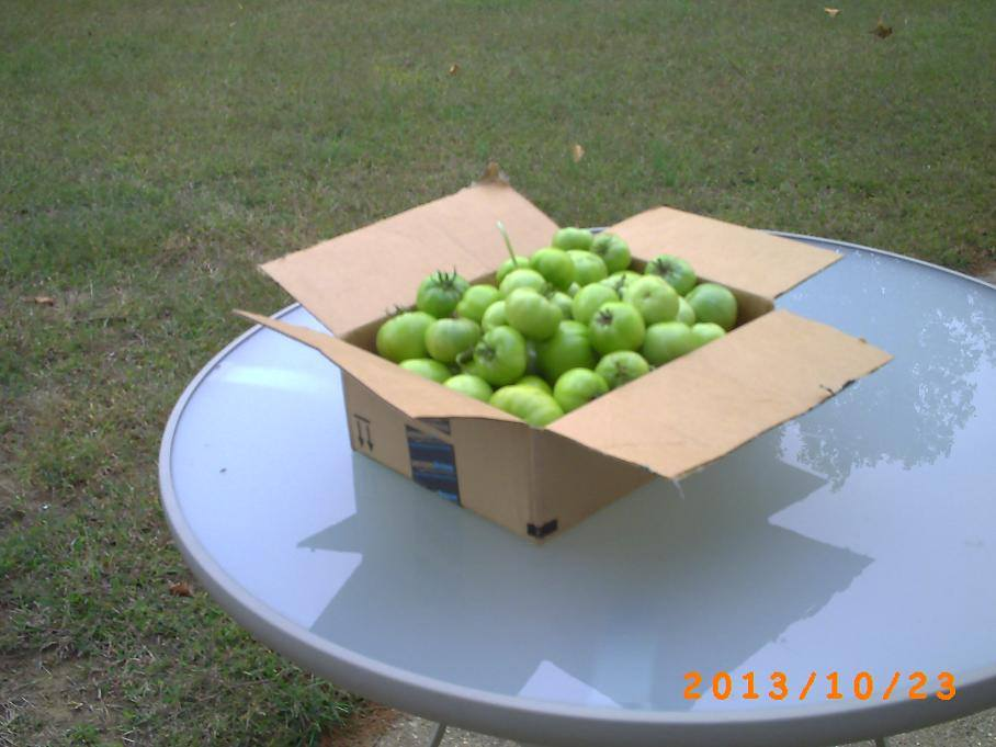 The green tomatoes that had to be picked before the freeze.