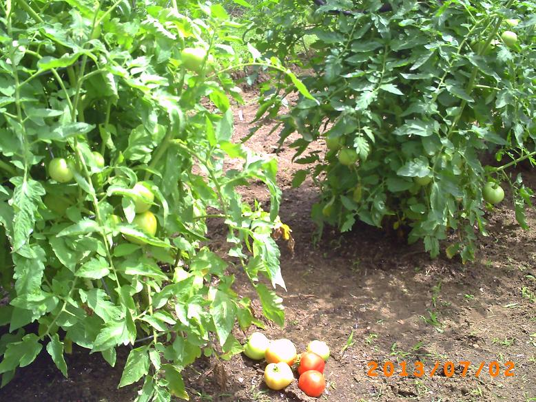 Lots of green tomatoes on the vine, starting to ripen