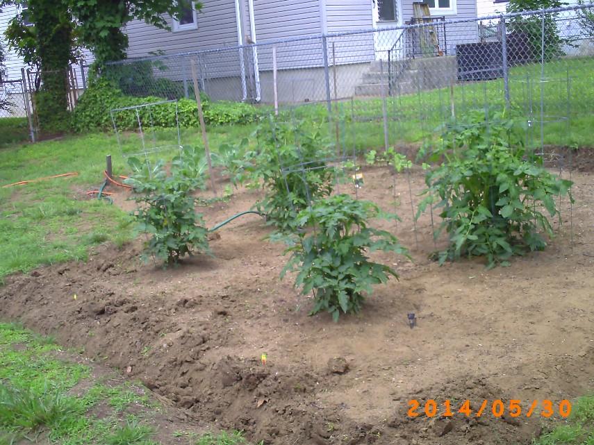Tomato Plants 30-May