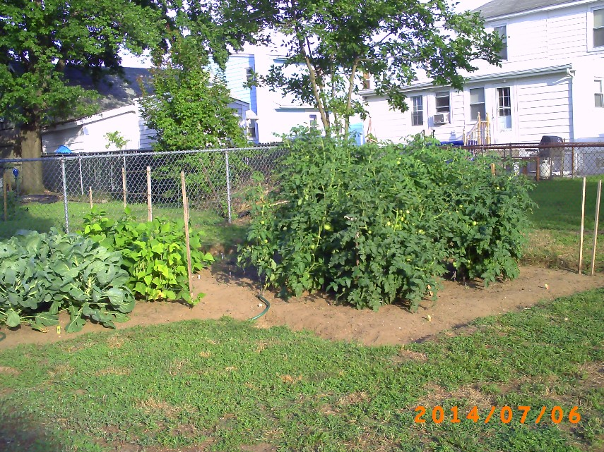 Garden with Tomato Plants. Lots of green tomatoes.