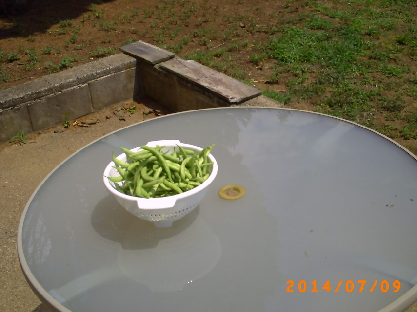 Second String bean harvest of the season
