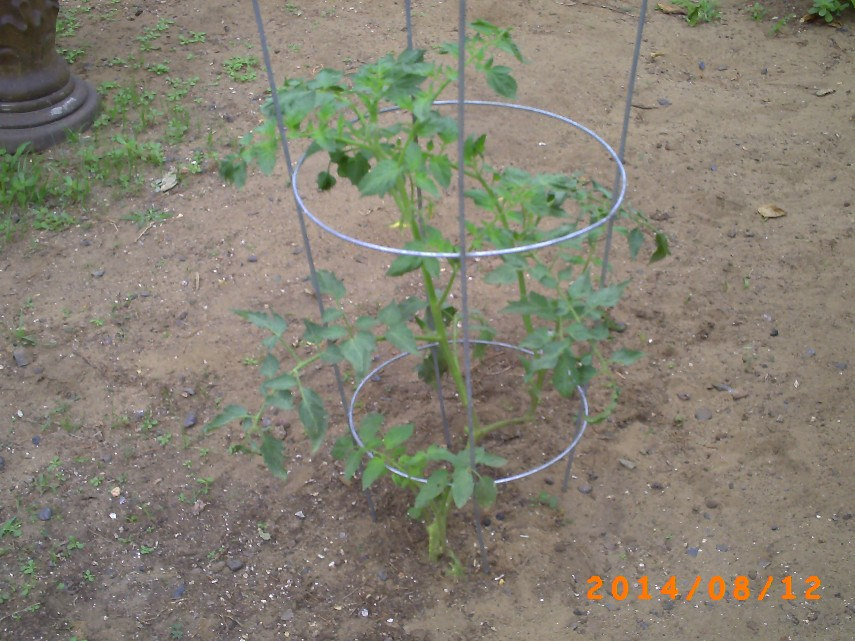 Once a sickly branch, not a thriving tomato plant