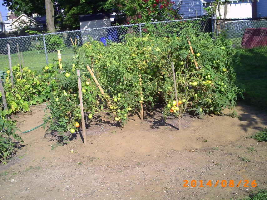 Wide shot of tomatoes with bacterial speck
