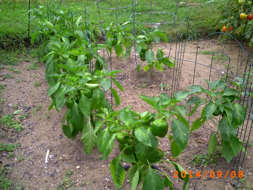 The pepper plants