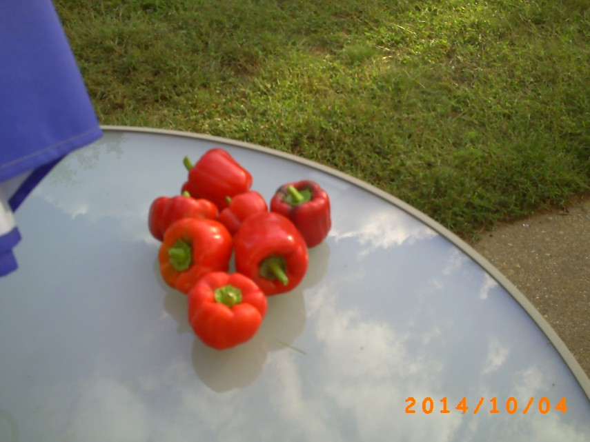 Pepper harvest. Very red.